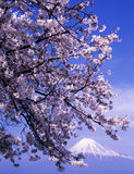 Mt fuji-420. Cherry blossoms in full bloom with Mount Fuji in the background Royalty Free Stock Photos