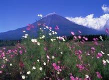 Mt fuji-421. Wind shake Cosmos field near Mount Fuji Royalty Free Stock Photography
