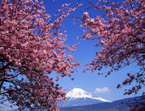 Mt fuji-450. Beautiful cherry blossoms with snow-capped Mount Fuji Royalty Free Stock Image