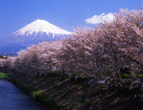 Mt fuji-454. Beautiful cherry blossoms with snow-capped Mount Fuji in daytime Royalty Free Stock Photos