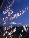 Mt fuji-455. The white and pink Japanese apricot blossom with Mt fuji Stock Photography