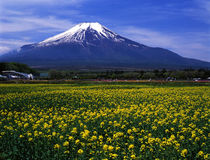 Mt fuji-457. Mt,Fuji view from Yamanaka flower park Royalty Free Stock Photos