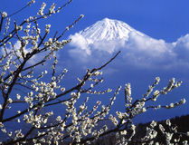 Mt fuji. The white Japanese apricot blossom and  Mt fuji Stock Photography