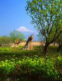 Mt fuji. Bundles of Miscanthus drying out in the sun with Mount Fuji looming in the distance Stock Image