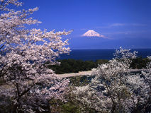 Mt fuji. Cherry blossoms with Mount Fuji Stock Photo