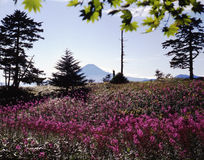 Mt fuji-459. The willow orchid flower grow in colonies over view Mt,Fuji Royalty Free Stock Photos