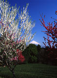 Mt Fuji. Mount Fuji in Springtime on flower garden Stock Photography