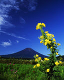 Mt fuji-463. An evening primrose flower bloom with Mt,Fuji Royalty Free Stock Image
