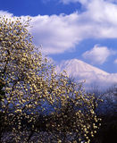 Mt fuji-471. A magnolia flower bloom through view Mt,Fuji Stock Photography