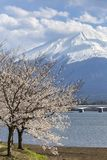 Mt Fuji and Cherry Blossom Royalty Free Stock Photography