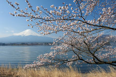 Mt Fuji and Cherry Blossom Royalty Free Stock Images