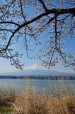 Mt Fuji and Cherry Blossom Stock Image
