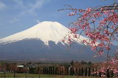 Mt. Fuji and cherry blossoms Stock Photo