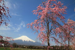 Mt. Fuji and cherry blossoms Stock Photos