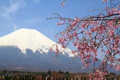 Mt. Fuji and cherry blossoms Royalty Free Stock Photography