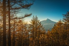 Mt Fuji con i pini di autunno ad alba in Fujikawaguchiko, J fotografia stock libera da diritti