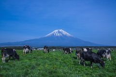 Mt.Fuji and cows Stock Photos