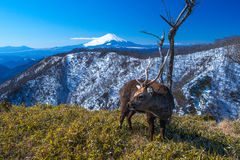 Mt.Fuji and deer Stock Image