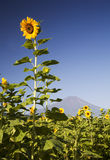 Mt fuji dg-26. Beautiful sunflower blossoms with Mount Fuji Stock Image