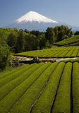 Mt fuji dg-30. Terraced green tea fields with snow-capped Mount Fuji Stock Photo
