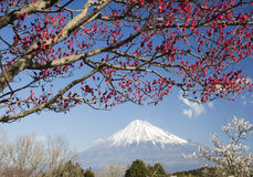Mt fuji-dg 35. The red and white Japanese apricot blossom and Mt fuji Stock Photos
