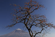 Mt fuji-dg 40. Delicious looking Japanese Kaki near Mount Fuji Stock Photography