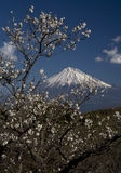 Mt fuji-dg 51. Mount Fuji with white apricot blossoms-2 Royalty Free Stock Images