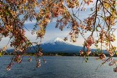 Mt Fuji i menchii Czereśniowy okwitnięcie obrazy royalty free