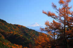 Mt. Fuji and Japanese larch Stock Photos