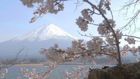 Mt. Fuji at Kawaguchiko lake in spring with cherry blossom tree stock video footage