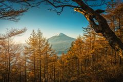 Mt Fuji mit Herbstkiefern bei Sonnenaufgang in Fujikawaguchiko, J lizenzfreie stockbilder