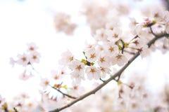 Mt Fuji no lago do kawaguchiko, lago Kawaguchiko de Japão, Monte Fuji, lago Kawaguchi, Japão, com, flores de cerejeira da mola, f fotografia de stock royalty free