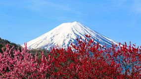 Mt Fuji with plum blossom. stock photography