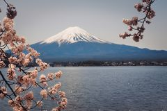 Mt. Fuji is surrounded by beautiful cherry blossoms. It is a dream destination for travelers to Japan royalty free stock photos