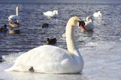 Mt.fuji and swan Royalty Free Stock Images