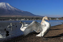 Mt Fuji and Swan Royalty Free Stock Photos