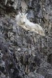 Mt. Goat kid on rock Royalty Free Stock Photography