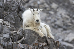 Mt. Goat on rock Stock Photo