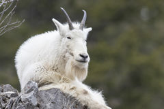 Mt. Goat on rock Royalty Free Stock Images