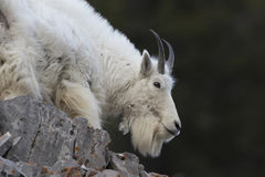 Mt. Goat on rock Stock Photography