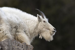 Mt. Goat on rock Royalty Free Stock Photography
