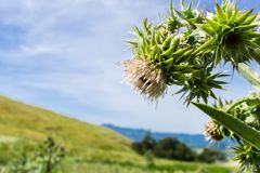 Mt Hamilton thistle Cirsium fontinale on a blue sky background, California stock photography