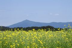 Mt. Himekami and Rape field, canola crops Royalty Free Stock Photography