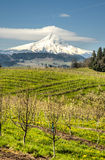 Mt Hood, apple orchards, Oregon Stock Photography