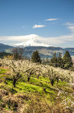 Mt Hood, apple orchards, Oregon Stock Photo