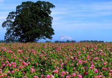 Mt. Hood with clover field. Clover field with Mt. Hood from Sauvie Island, Oregon stock image