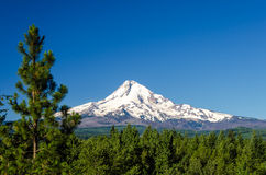 Mt. Hood and Pine Trees Royalty Free Stock Photos