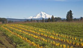 Mt Hood in snow and plant fields. Royalty Free Stock Images