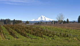Mt Hood in snow and plant fields. Stock Photography