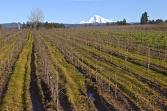 Mt Hood in snow and plant fields. Royalty Free Stock Photos